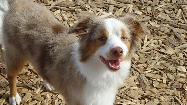 brown and white dog enjoying playtime at perfect pet resort