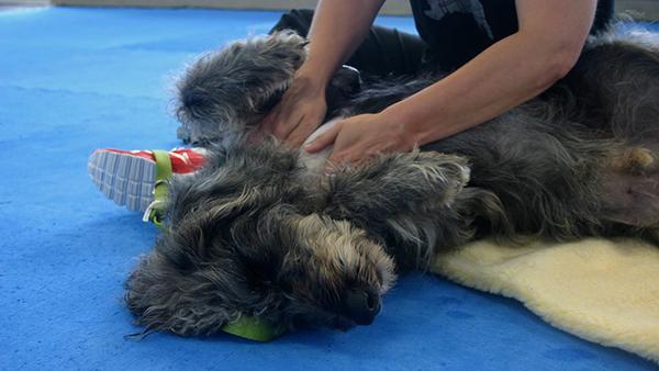 dog receiving massage at perfect pet resort
