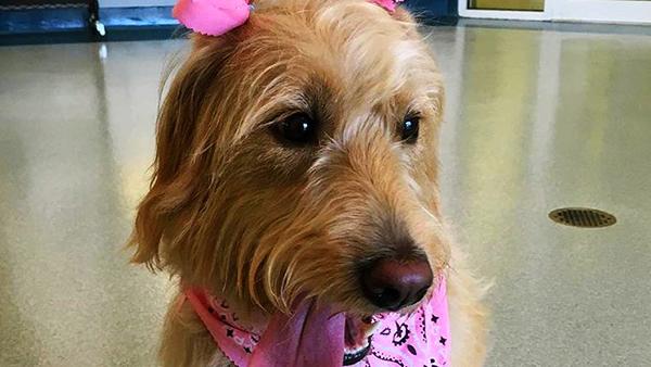 dog wearing pink bandana at perfect pet resort