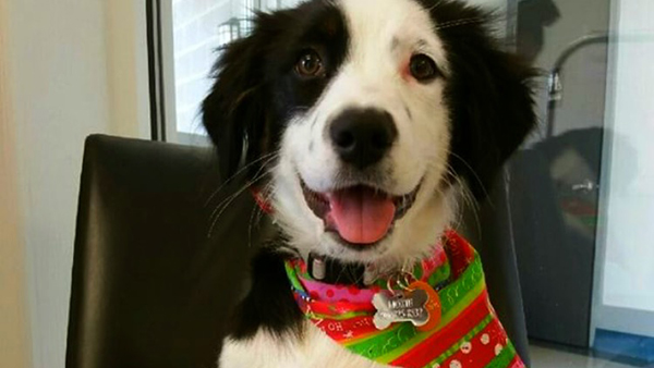 border collie wearing Christmas bandana at perfect pet resort