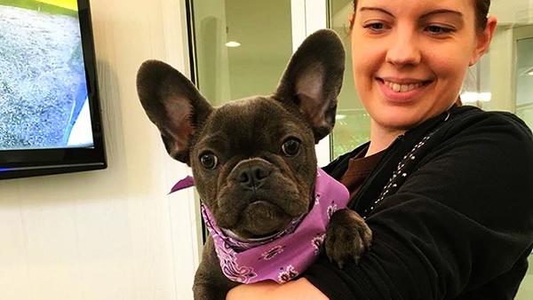 french bulldog wearing purple bandana at perfect pet resort