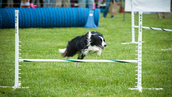 border collie doing agility training at perfect pet resort