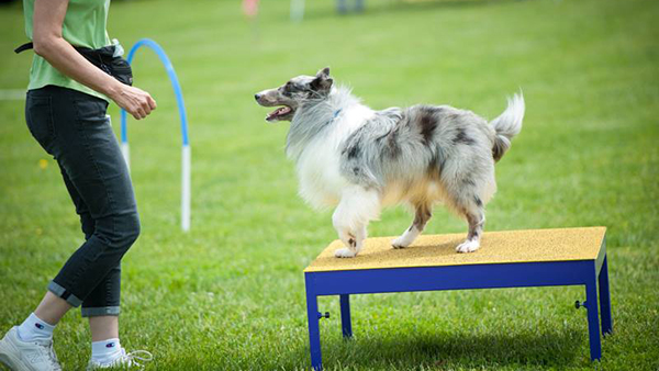 collie in obedience training at perfect pet resort