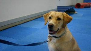 yellow lab in obedience training at perfect pet resort