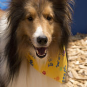 collie wearing yellow bandana at perfect pet resort