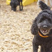 small black dog playing outside at perfect pet resort