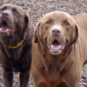 two chocolate labs outside at perfect pet resort
