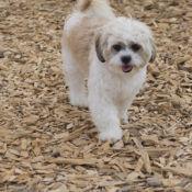 small white dog outside perfect pet resort