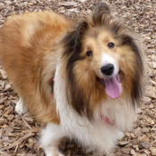 collie playing outside at perfect pet resort