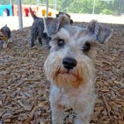 schnauzer enjoying playtime at perfect pet resort