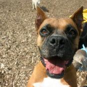 boxer enjoying play time at perfect pet resort